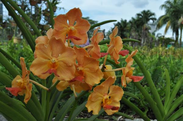 Орхидеи в Куала-Лумпуре
