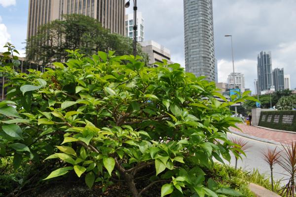 Зелень в Куала-Лумпуре