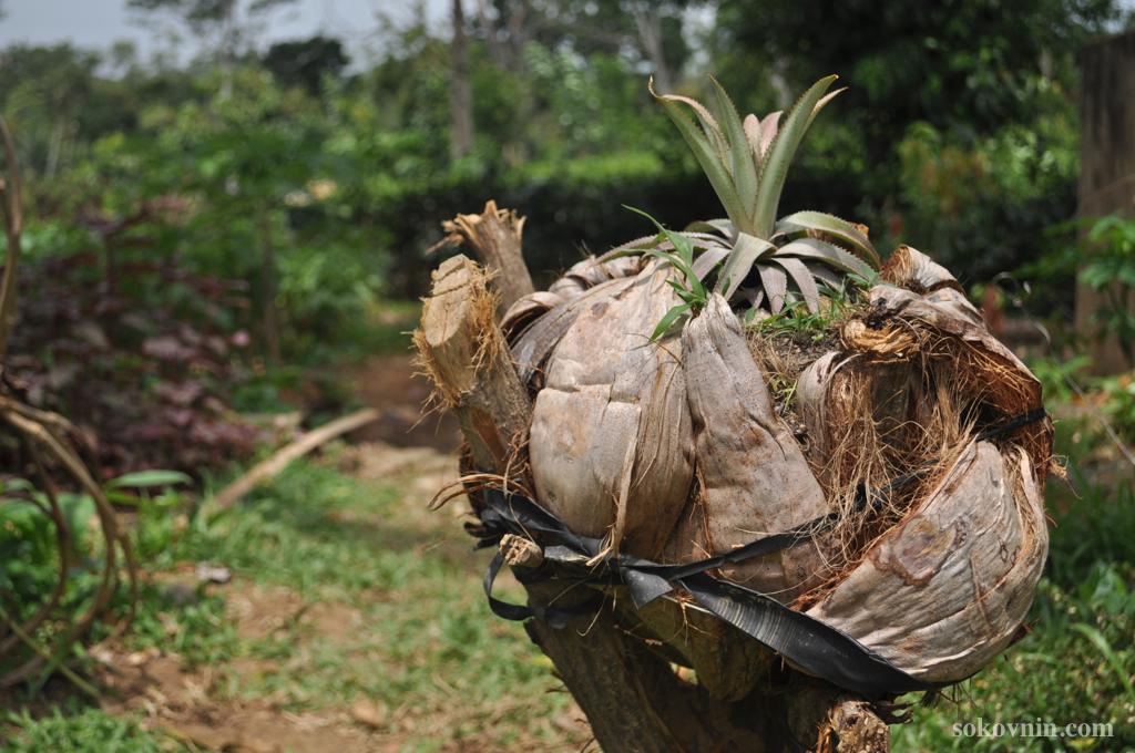 Как растёт ананас
