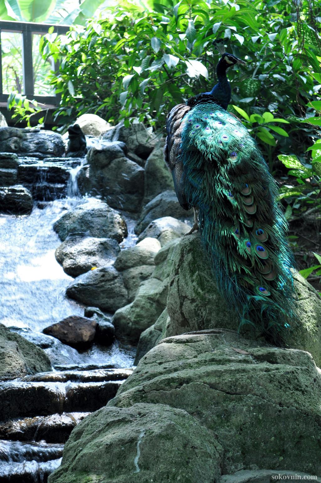 Павлины в парке птиц