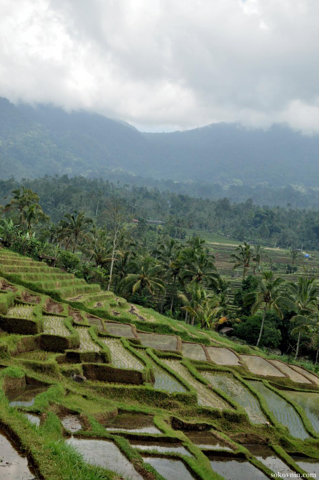 Поездка на рисовые плантации Jatiluwih