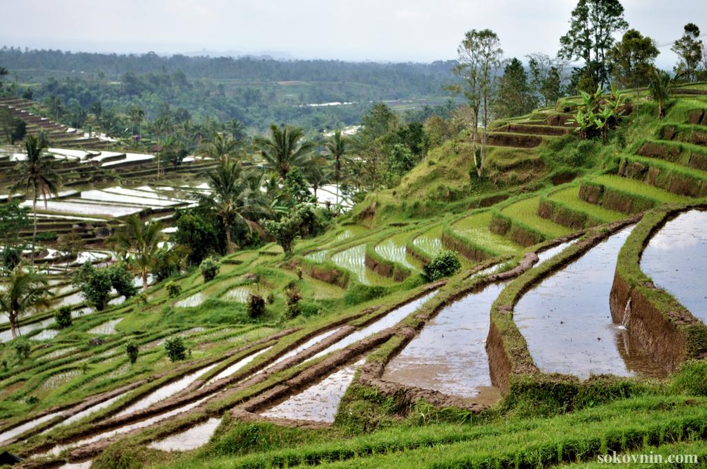 На рисовых плантациях Жатилувих