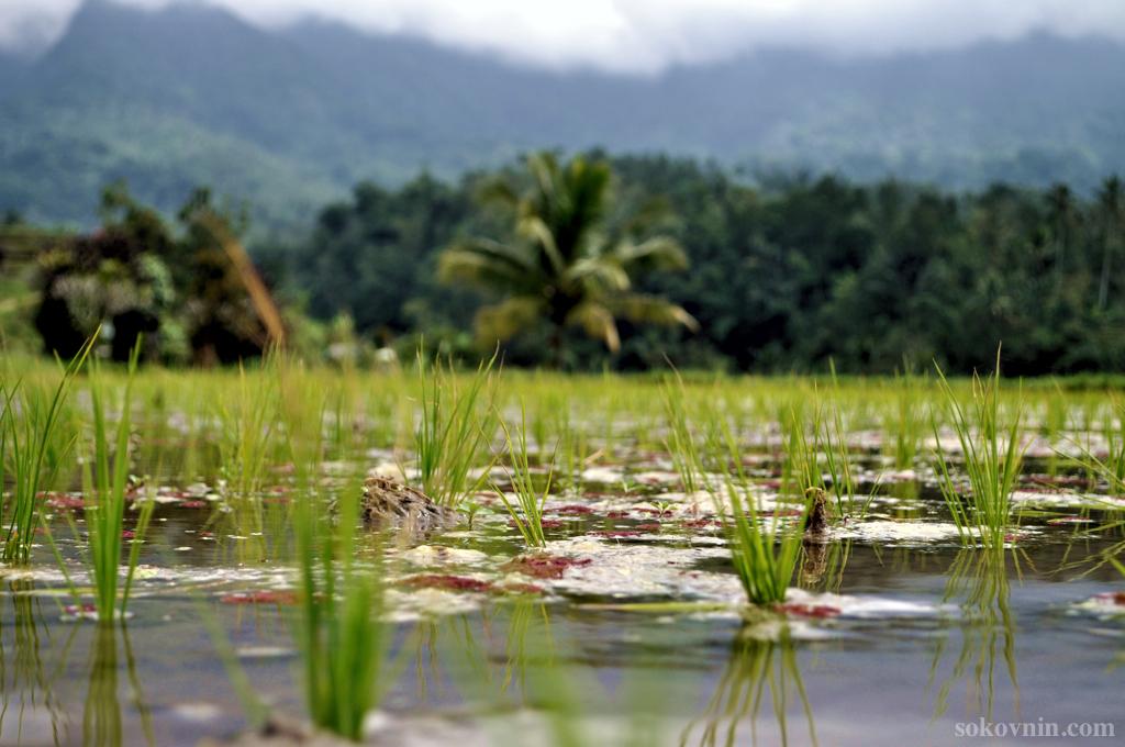 Рисовые плантации Жатилувих на Бали