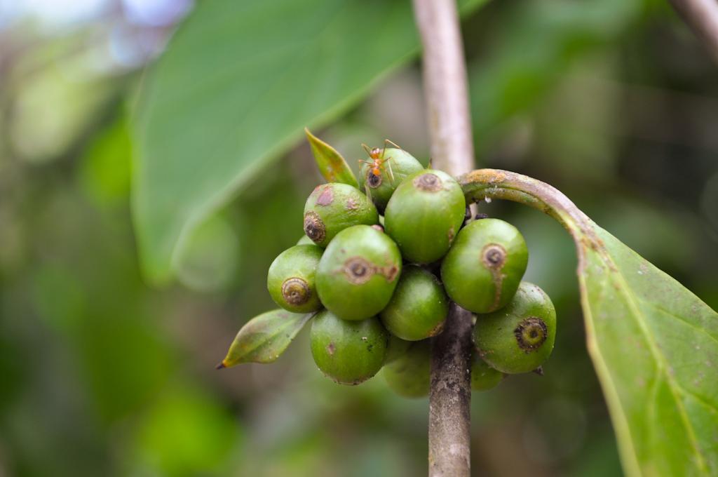 Зёрна кофе, как растёт кофе на Шри-Ланке