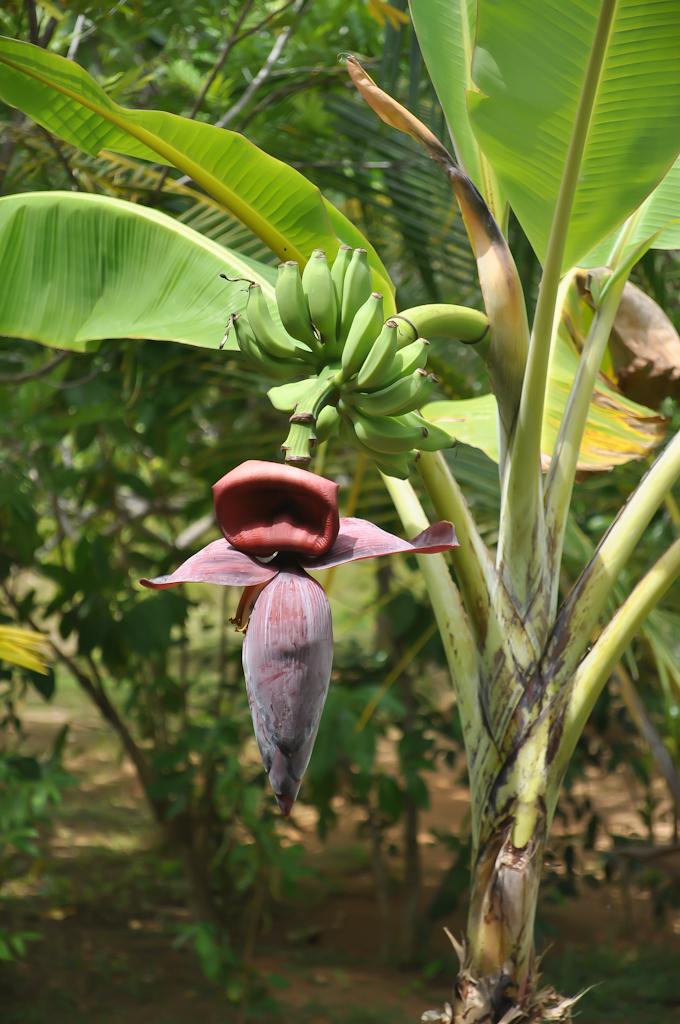 Как растут бананы на Шри-Ланке