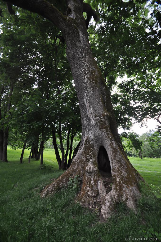 Большое старое дерево