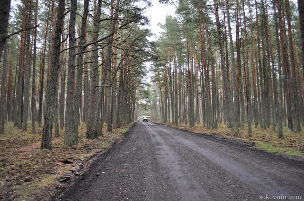 Дорога к танцующему лесу на Куршской косе
