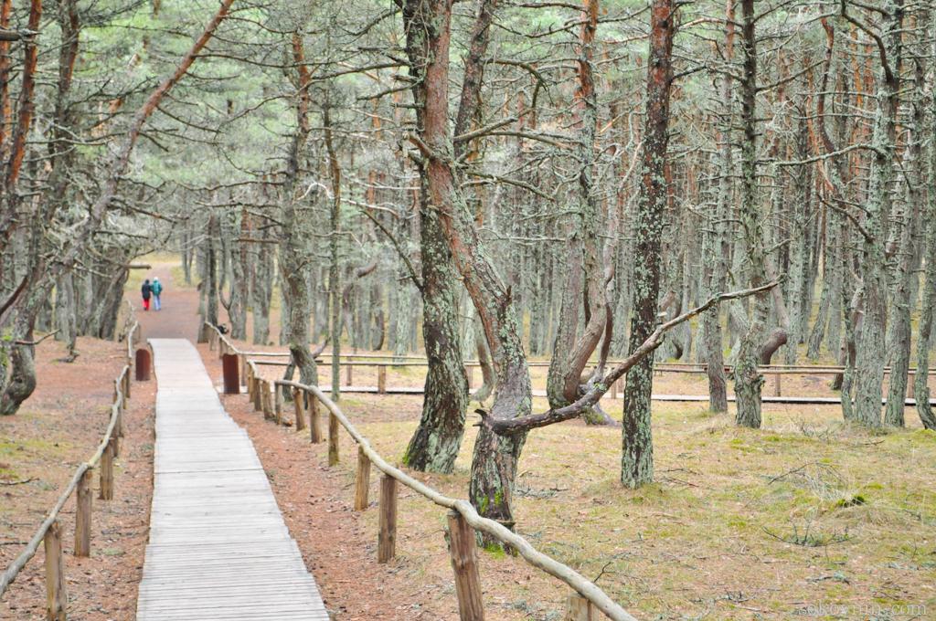 Пешеходные дорожки в танцующем лесу