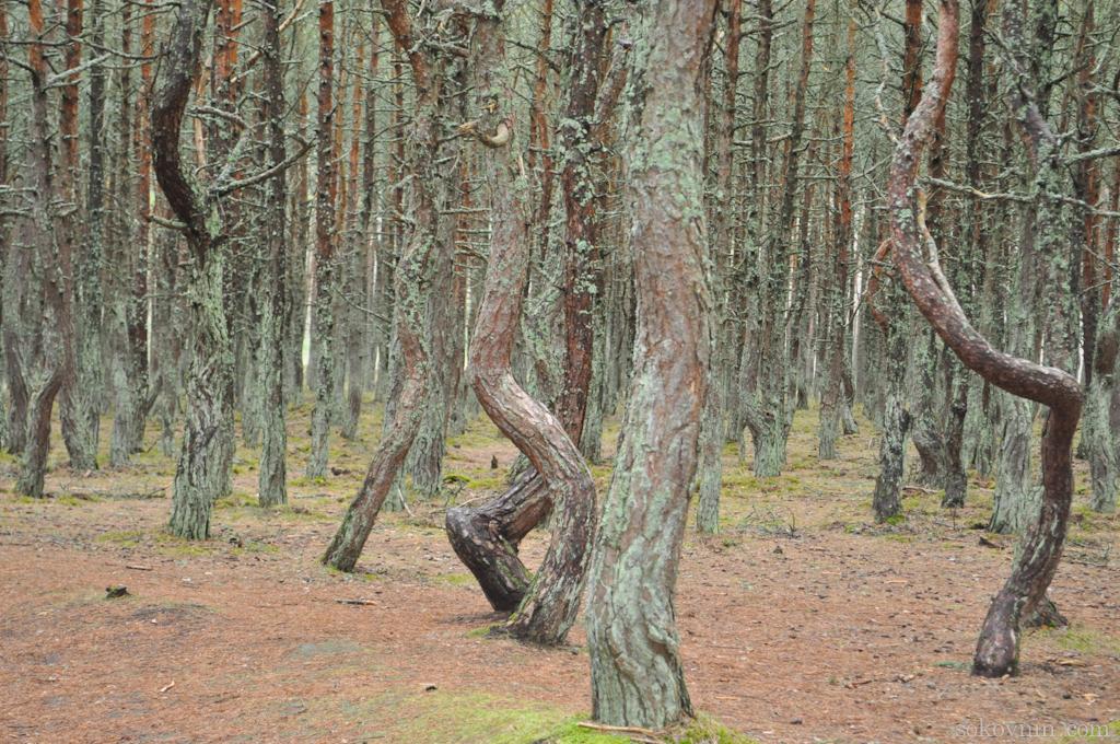 Причудливо закрученные деревья