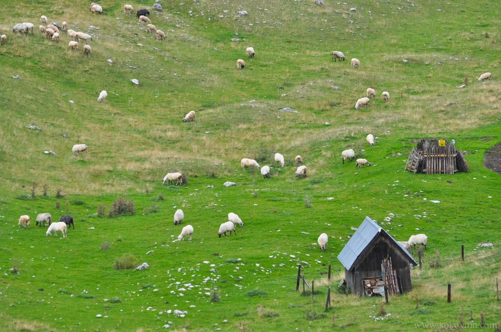 Горные овечки