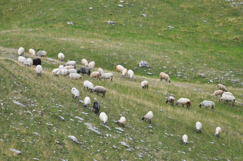 Фото горных овец
