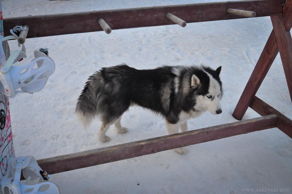 Собака Хаски в Мальской долине